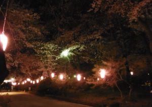 桜並木にはピンクの提灯
