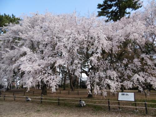 敷島しだれ桜